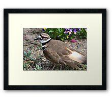 Killdeer Bird Framed Print