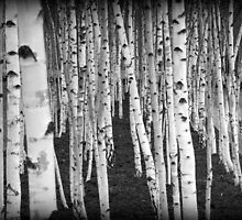 Silver Birch Trees by Ed Sweetman