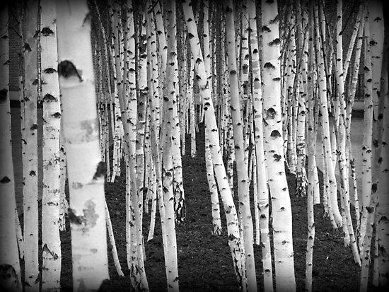 Silver Birch Trees by Ed Sweetman
