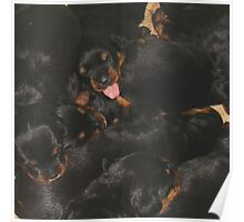 Litter Of Rottweilers and One Puppy Being Different Poster