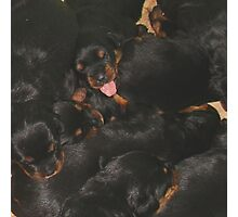 Litter Of Rottweilers and One Puppy Being Different Photographic Print