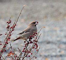 Waxwing having a snack by Christian Nilsen
