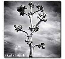 The Yucca Stalk, by Leslie Burnside Photographic Print
