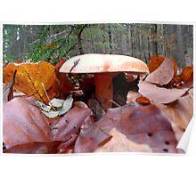 Lactarius deterrimus- Fichtenreizker- False Saffron Milk-Cap Poster