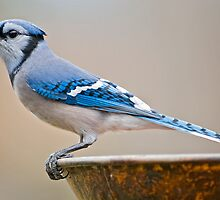 Blue Jay in December by Bonnie T.  Barry