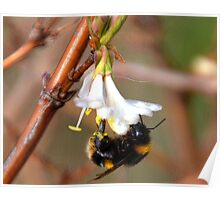 Lean Pickings For A Bee Poster