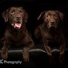 Chocolate Labrador 6 by Mark Cooper