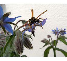 Borage Wasp Photographic Print