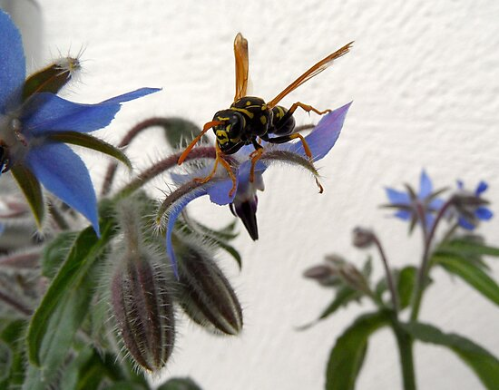 Borage Wasp by PierPhotography
