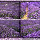 The Lavender Farm by Robyn Carter