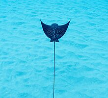 Spotted ray in Hawaii by AkimaTsurugi
