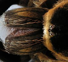 Shed Skin of Mexican Redknee Tarantula by Kawka