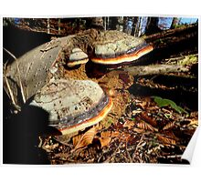 Red-banded Polypore Poster