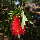 Bottlebrush at Cottesloe, WA by simonescott