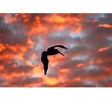 Australian Pelican, Silhouette Photographic Print