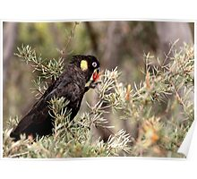 Yellow Tailed Black Cockatoo (Male) Poster