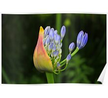 Birth Of An Agapanthus Poster
