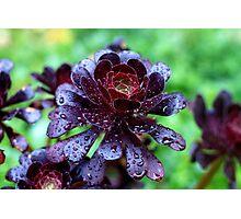 Dewdrops on Purple Aeonium Photographic Print