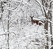 Winter Whitetail 2 by Thomas Young