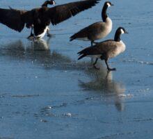 Precarious Walk on the Ice - Canada Geese, Lake Ontario, Toronto Sticker