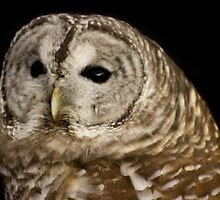 Barred Owl Face  by Marcina Frost