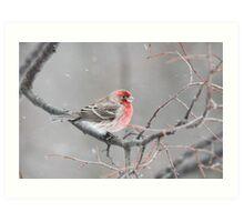 Winter House Finch Art Print