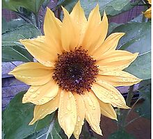 Sunflower by sigriff