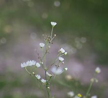 White Flowers by Ryan Leatzaw