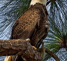 American Bald Eagle #12 by George  Link