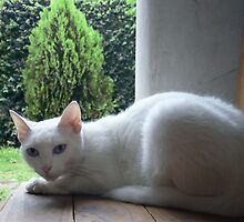 Lovely Blue Eyes - Cute White Cat by Gime Niz