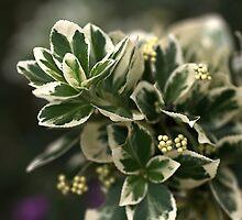Variegated leaves by Joy Watson