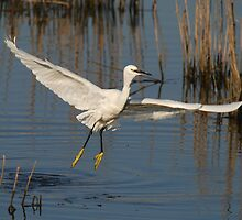 Little Egret by Jose Saraiva