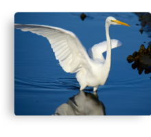 Blue and White  (Great White Egret) Canvas Print