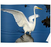 Blue and White  (Great White Egret) Poster