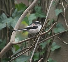 Long Tailed Tit by Rivendell7