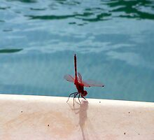 Dragonfly in Cyprus by JMaxFly