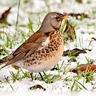 Winter Fieldfare by Margaret S Sweeny