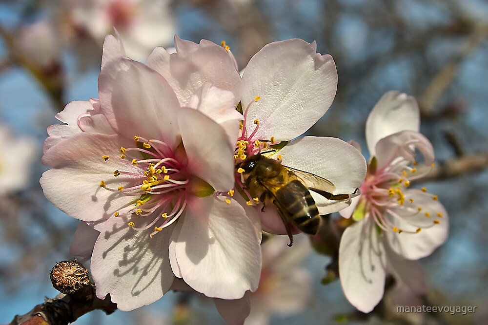 The Almond Blossom by manateevoyager