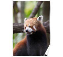 Red Panda at Alma Park Zoo Poster