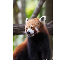 Red Panda at Alma Park Zoo Photographic Print