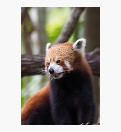 Red Panda at Alma Park Zoo Photographic Print