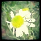 Chamomile 2012 @TheMomentPhotohraphy E.Lei Brewer 2012 by leih2008