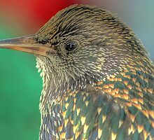 Starling Portrait  by larry flewers