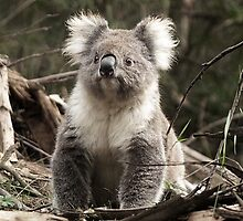 Koala in the Otways, Vic. Australia by Bev Pascoe