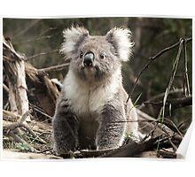 Koala in the Otways, Vic. Australia Poster