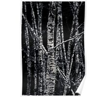Which Way To Grow - Birch Trees - Washington State Poster