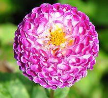 Pink Dahlia by nag71