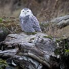 Snowy on a log by Mike  Kinney