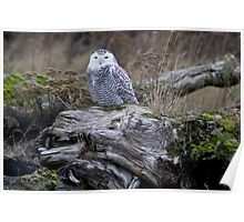 Snowy on a log Poster
