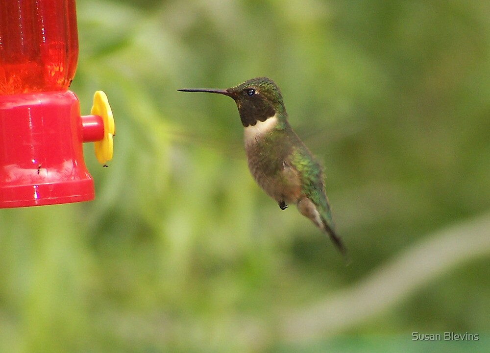 Hovering at the feeder by Susan Blevins